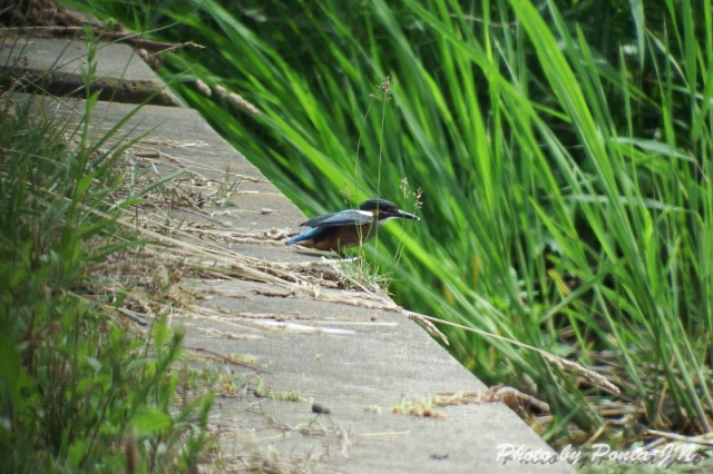 kawasemi1406-0018.jpg