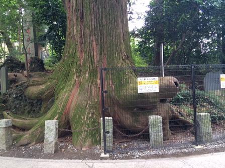 高尾山蛸の杉