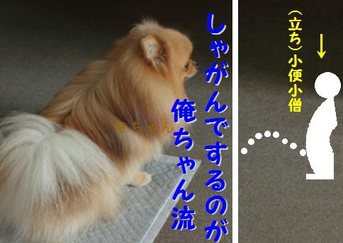 blog可愛いポメ俺ちゃん流6