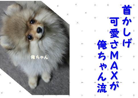blog可愛いポメ俺ちゃん流10
