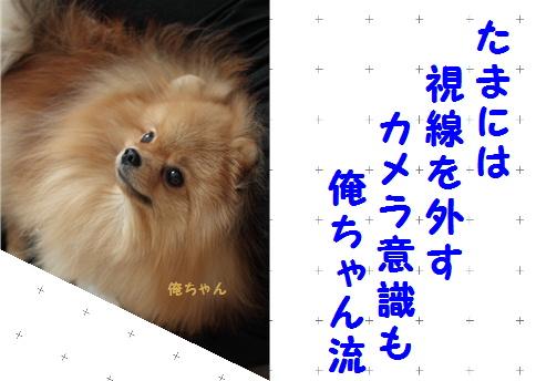 blog可愛いポメ俺ちゃん流8