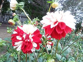 花かんざし20141002