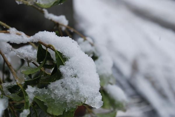 我が家の植え込みの雪