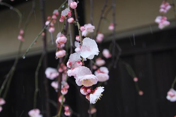 枝垂れ梅と雪1