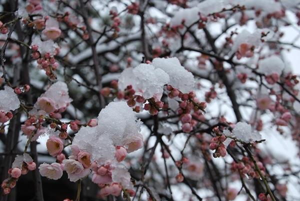 枝垂れ梅と雪2
