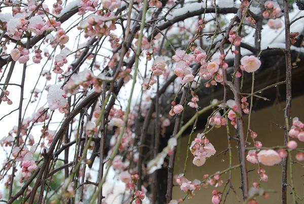 枝垂れ梅と雪3