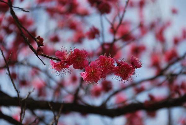 ピンクの梅アップ