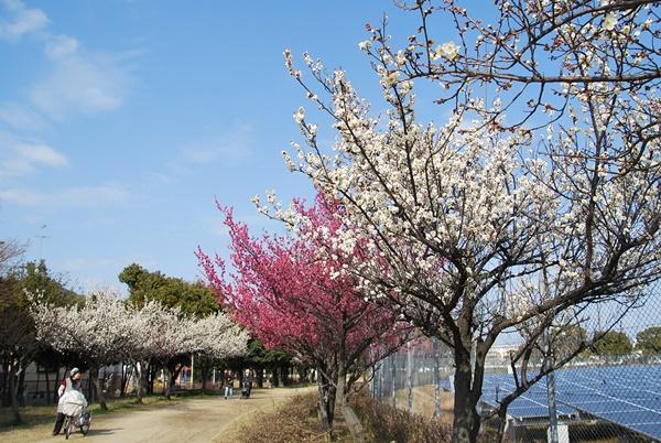 地域の人も梅を見ながら