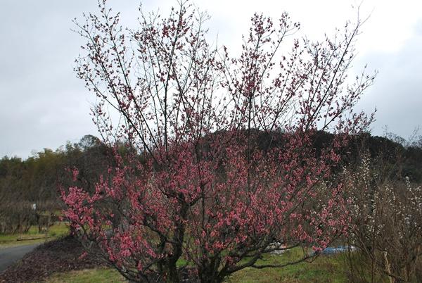 ピンクの梅の木