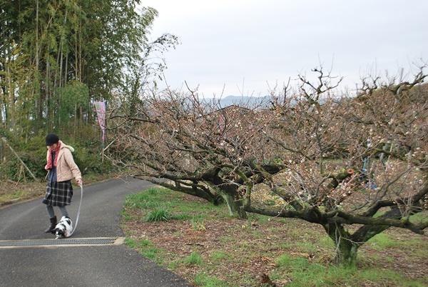 食用の梅を栽培