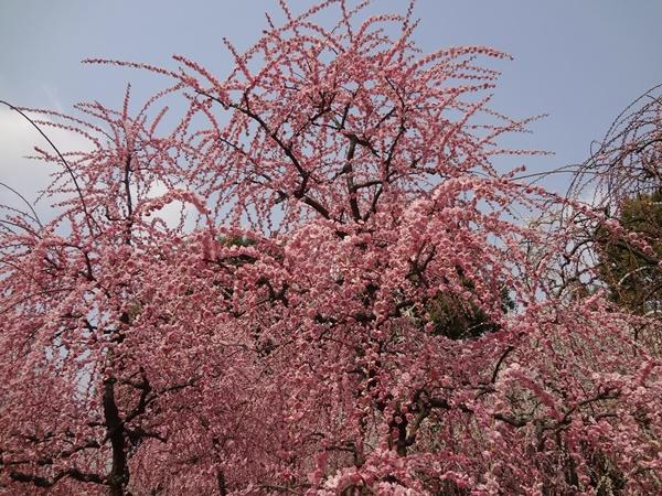 枝垂れ梅ピンク