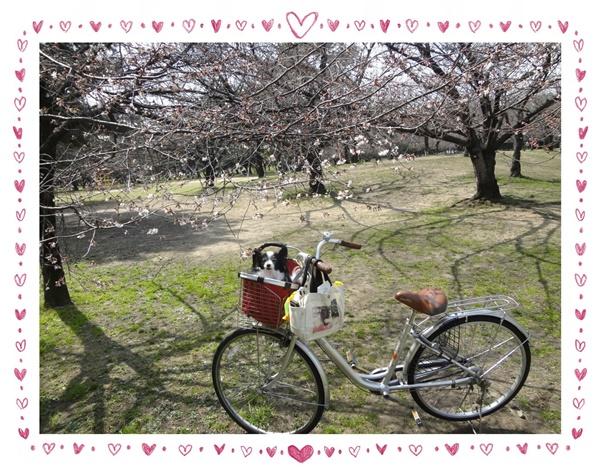 早咲き桜と自転車ルビー