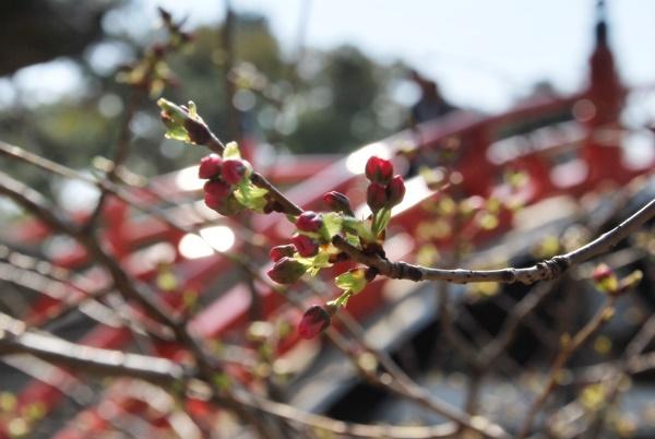 桜のつぼみ(バックに太鼓橋)