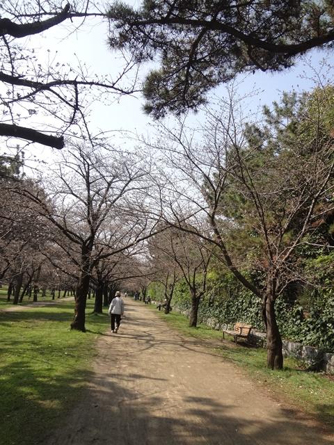 桜のトンネル(まだ)