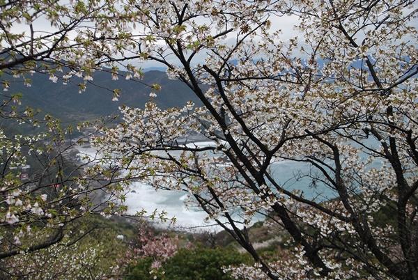 山桜越しの海岸