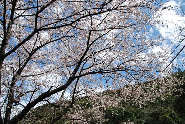 ドライブ途中の桜