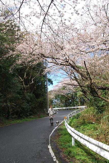 ドライブ途中桜の下を散歩