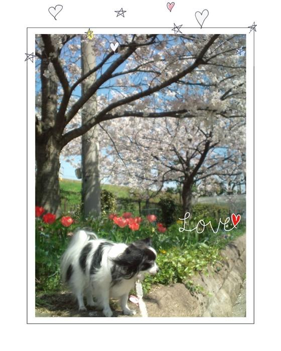 桜&チューリップと