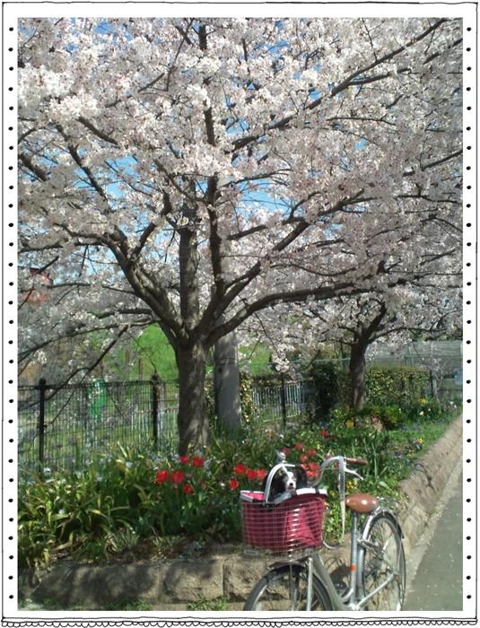 線路沿いの桜と