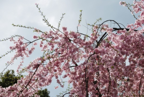 ピンクの枝垂れを下から仰ぐ