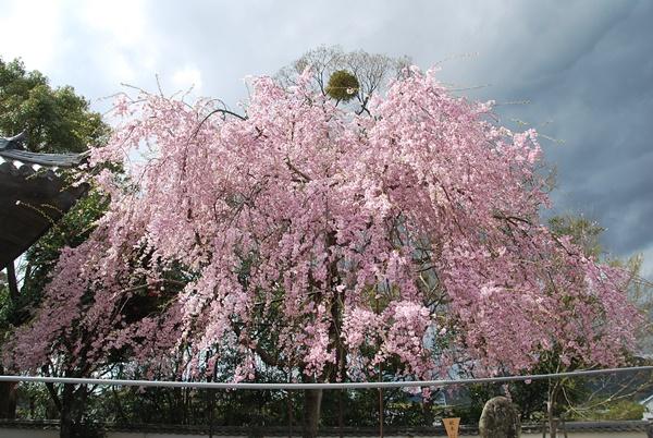 ピンクの枝垂れ桜
