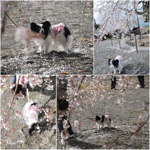 枝垂桜とルビー
