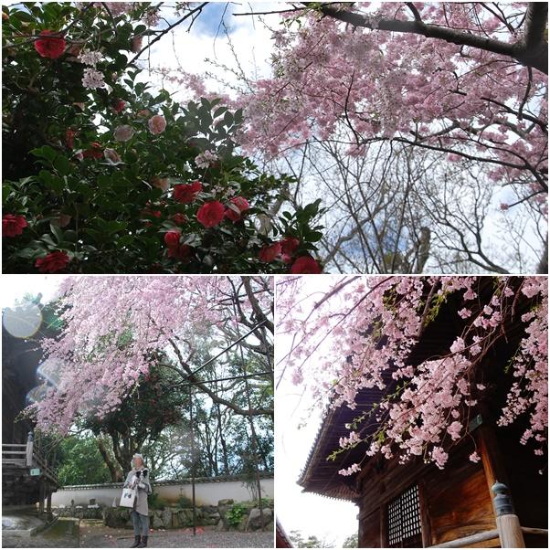 枝垂桜と椿2