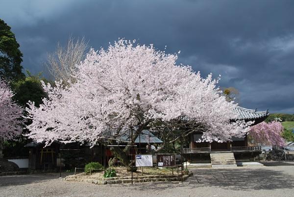 入相桜(エドヒガン)