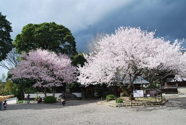 入相桜とピンクの桜