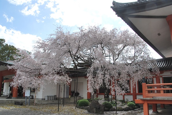 宝物殿横の枝垂桜
