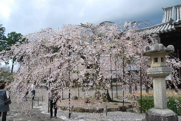 本堂横の枝垂桜