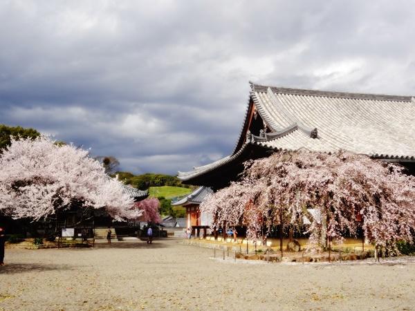 本堂前の枝垂桜と入相桜