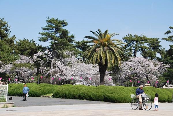 レストハウス横の桜