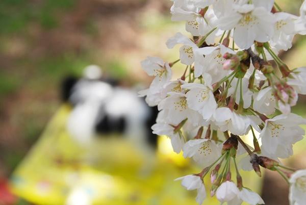 桜の下でシートを