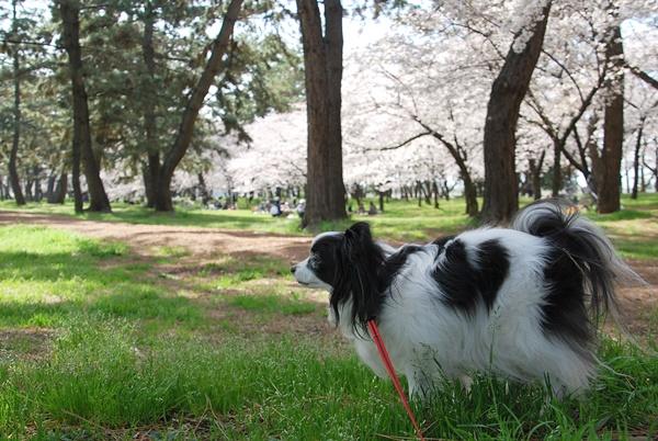 桜を横目にお散歩中