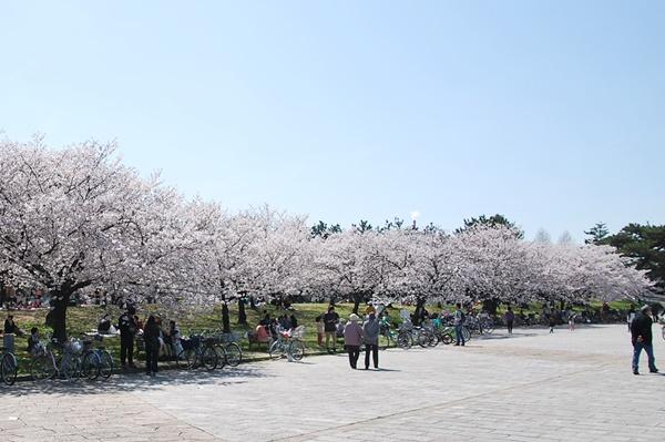 噴水前の桜