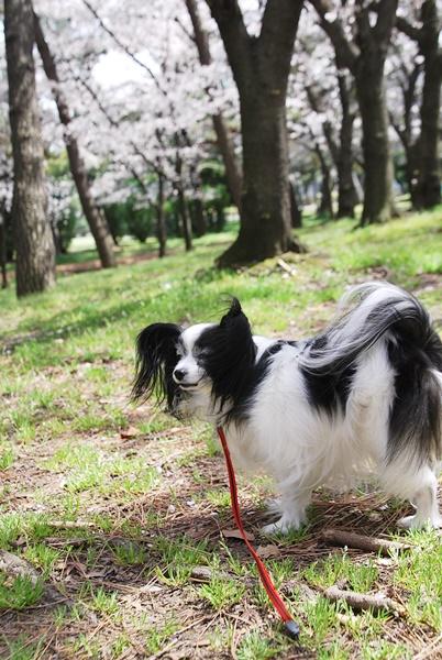 バイバイ桜