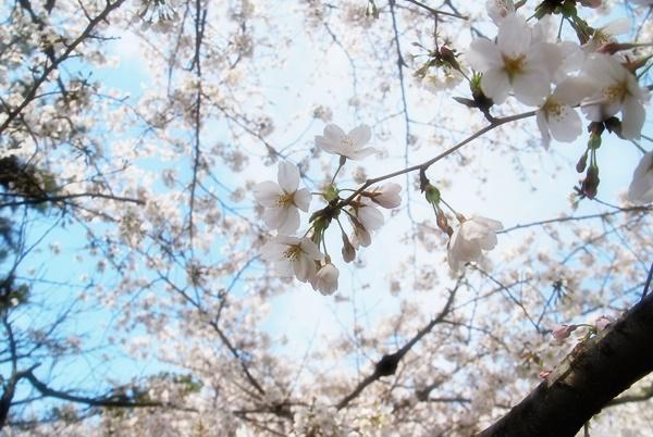 日に透ける桜
