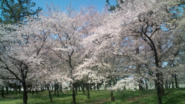 浜寺公園桜2