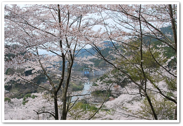 天理ダムと桜