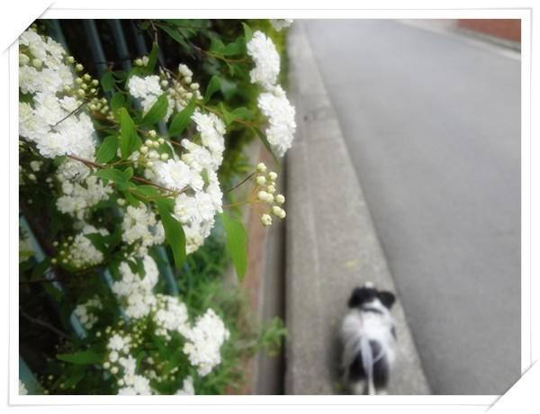 コデマリの咲く道をお散歩