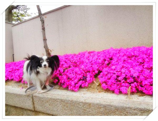 ご近所の芝桜