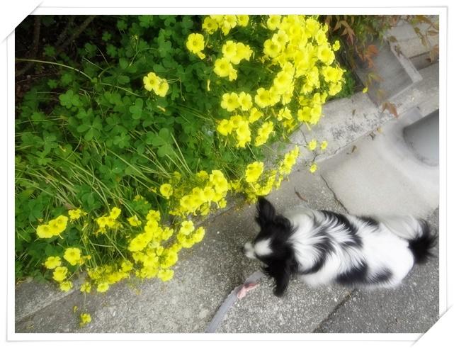 黄色いクローバーの花と