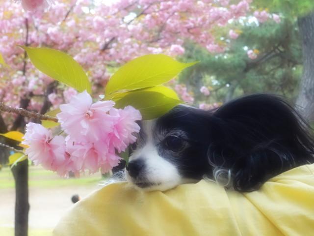八重桜とルビー1