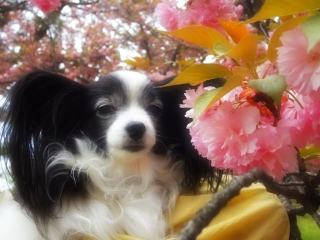 八重桜とルビー2
