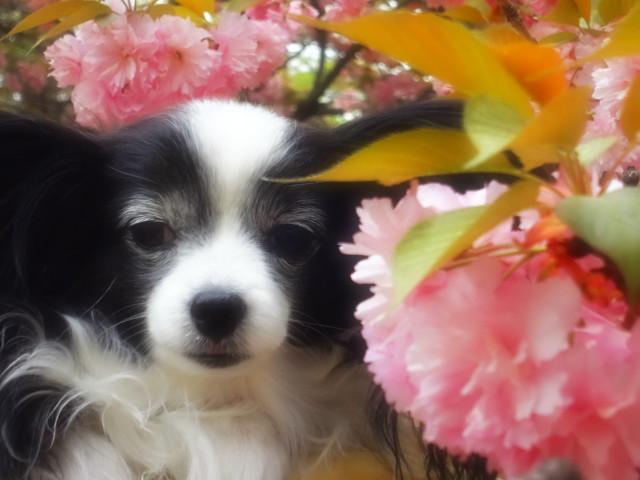 八重桜とルビー4