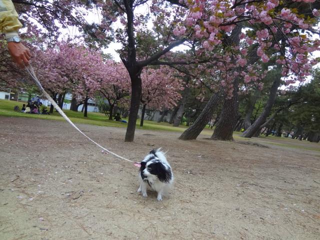 八重桜とルビー5