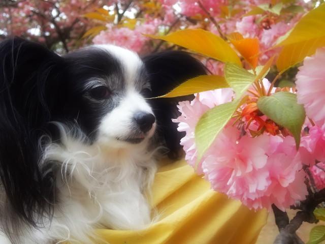 八重桜とルビー6