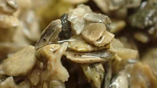 貝化石 2014-09-04 (5)