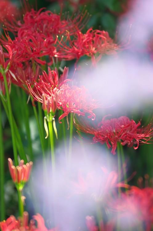彼岸花が咲く季節 4